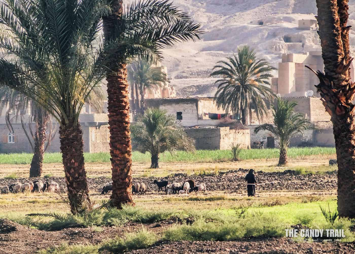 Shepherd With Flock At Farm In Luxor Egypt