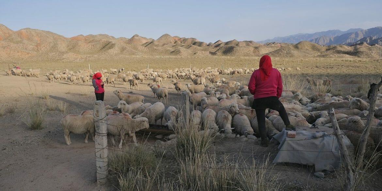 yugur nomads sheep flock gansu china