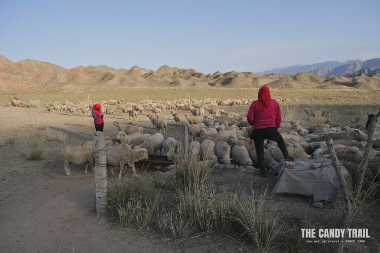 yugur nomads sheep flock gansu china