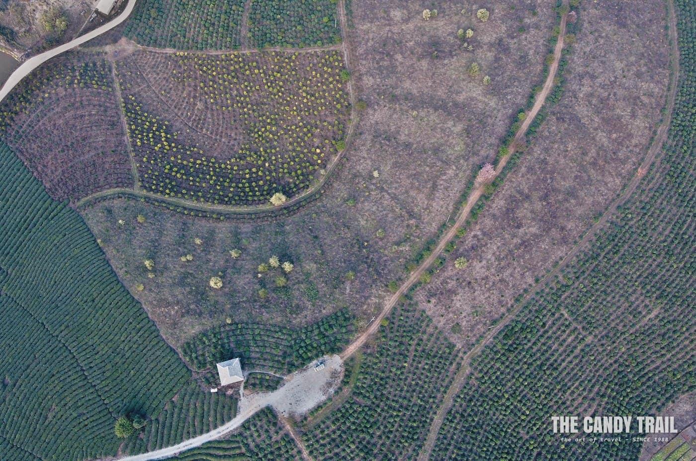 pu-erh tea plantations patterns of xishuangbanna in china